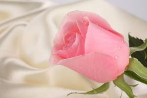 loson-iz-lepestkov-roz