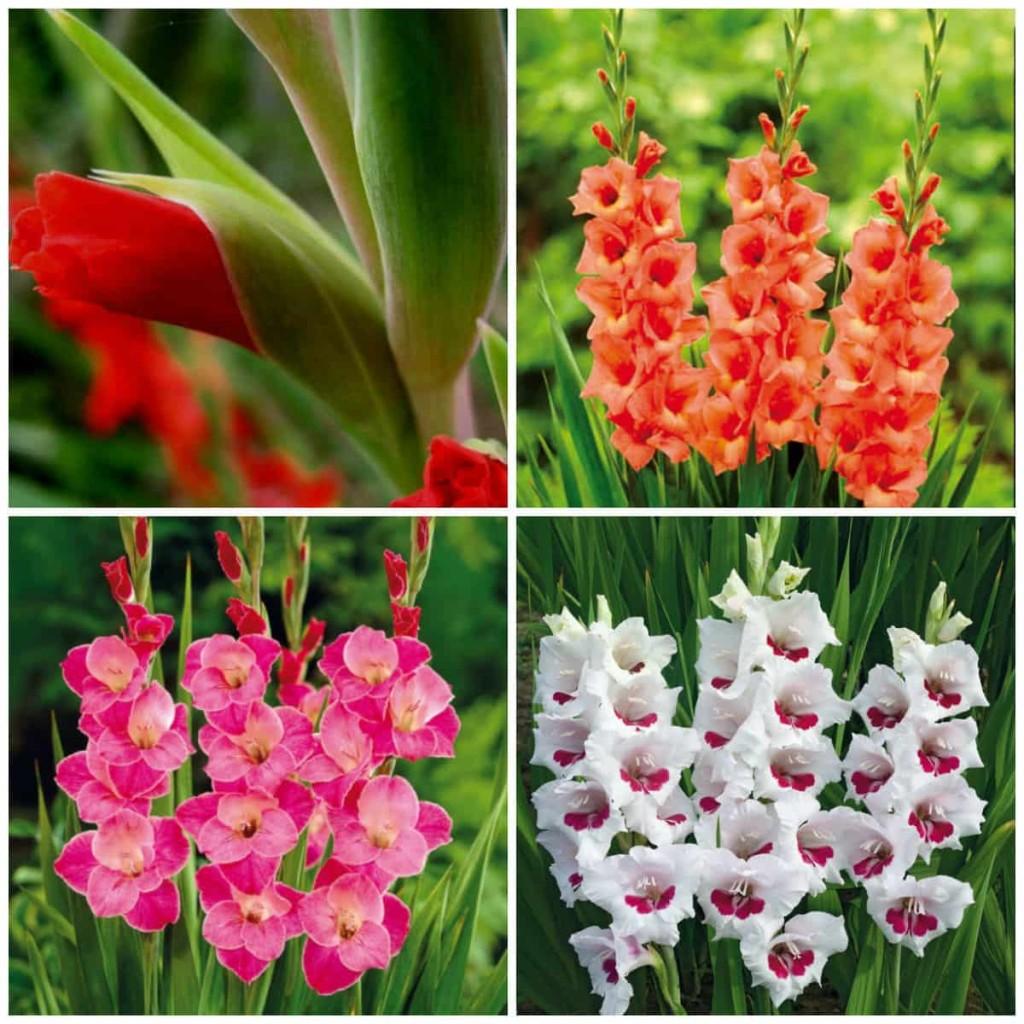 gladiolusy-posadka-uxod