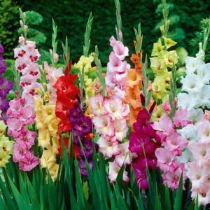gladiolusy-posadka
