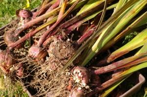 gladiolusy-xranenie-lukovic