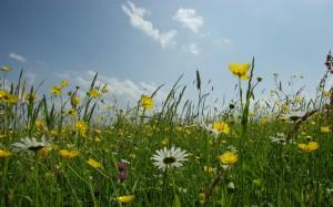 Какие полевые цветы опасны для ребенка