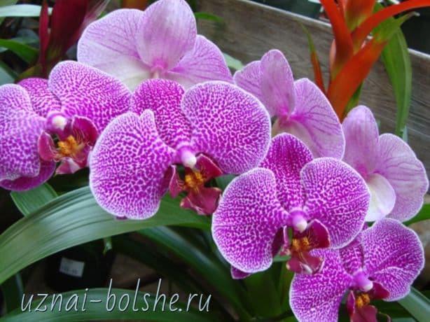 orhideya-fen-shuj