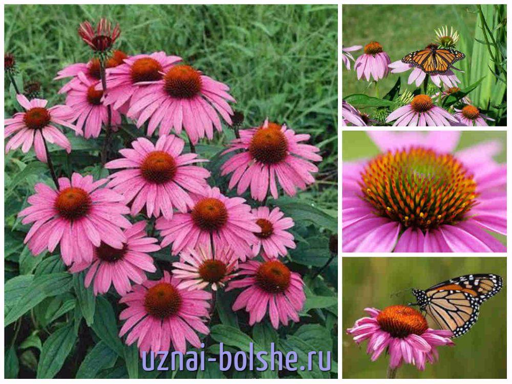 babochki-na-jehinacei-purpurnoj