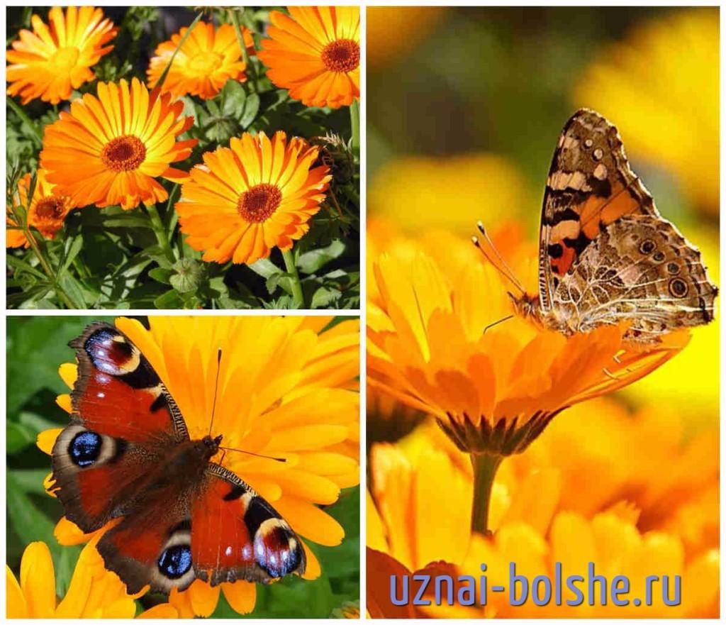 cvety-kotorye-privlekajut-babochek