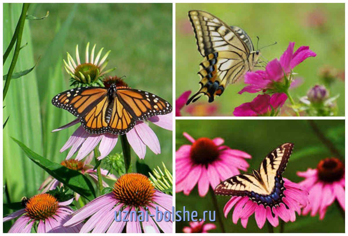 Цветы, привлекающие бабочек