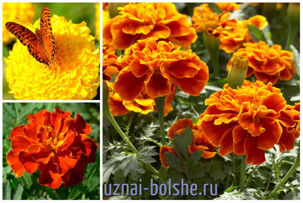 barhatcy-cvetut-vse-leto