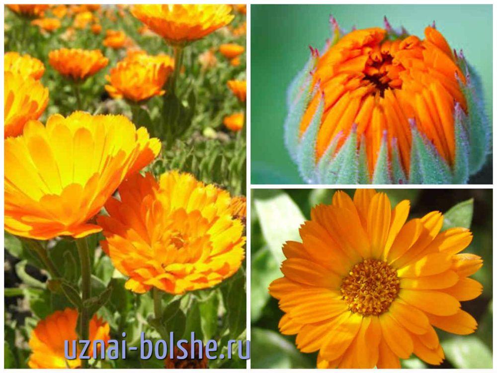 kakie-odnoletnie-cvety-cvetut-vse-leto