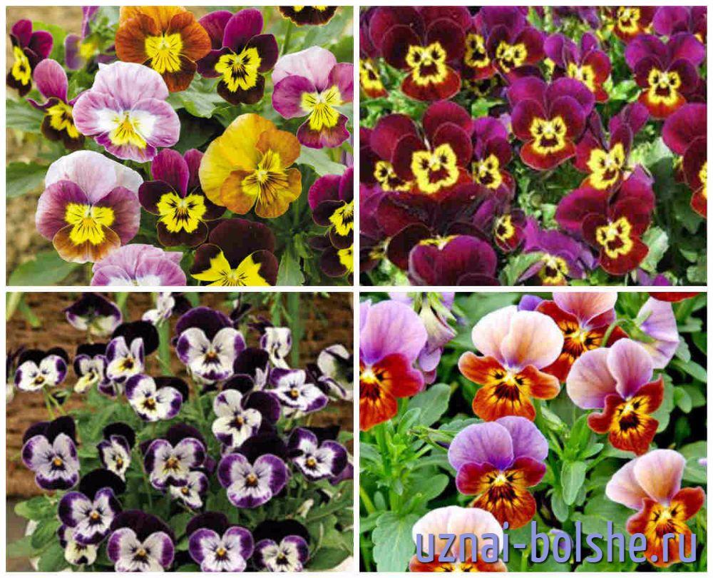 neprihotlivye-odnoletnie-cvety-cvetut-vse-leto