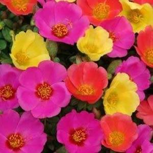 kakie-odnoletnie-cvety-cvetu- vse-leto-portulak