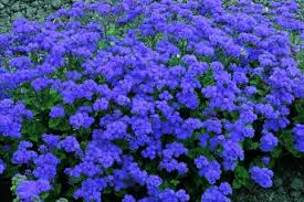 kakie-odnoletnie-cvety-cvetut-vse-leto-ageratum