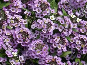 kakie-odnoletnie-cvety-cvetut-vse-leto-allisum