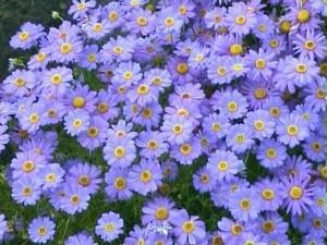 kakie-odnoletnie-cvety-cvetut-vse-leto-brahikoma