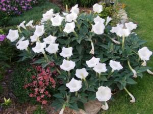 kakie-odnoletnie-cvety-cvetut-vse-leto-datura-durman-trava