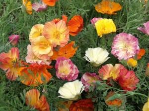 kakie-odnoletnie-cvety-cvetut-vse-leto-jeshshol'cija-polynok-kalifornijskij-mak