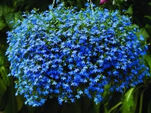 kakie-odnoletnie-cvety-cvetut-vse-leto-lobelija