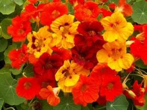 kakie-odnoletnie-cvety-cvetut-vse-leto-nasturcija