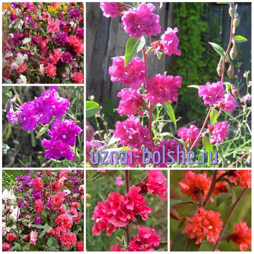 neprihotlivye-odnoletni- cvety-cvetushhie-vse-leto-klarkija