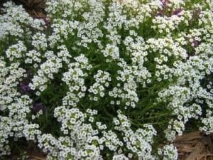 odnoletnie-cvety-cvetut-vse-leto-allisum