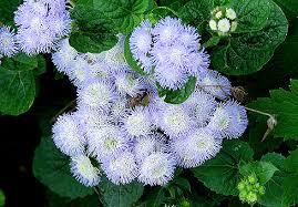 odnoletnie-cvety-cvetut-vse-leto-ageratum