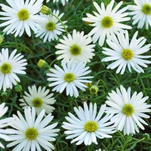 odnoletnie-cvety-cvetut-vse-leto-brahikoma