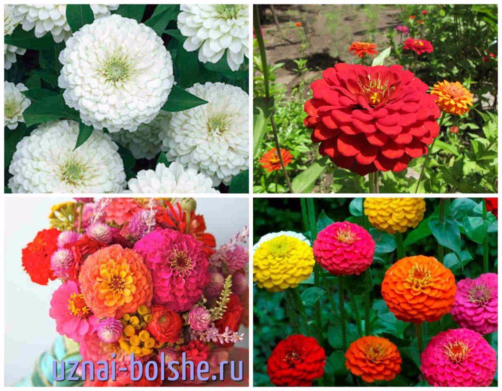 odnoletnie-cvety-cvetut-vse-leto-cinnija
