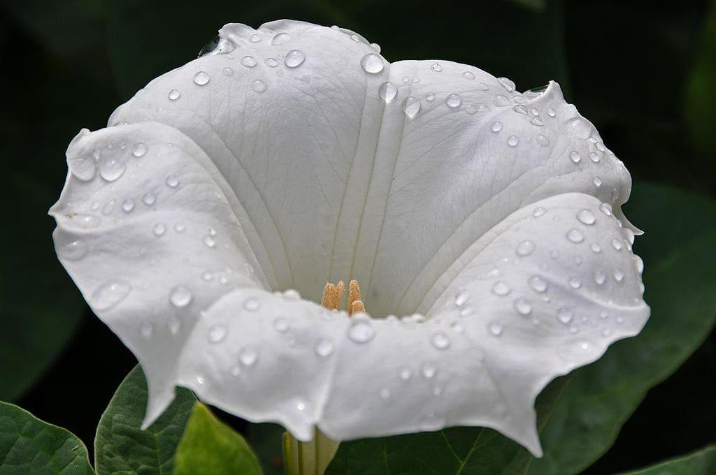 odnoletnie-cvety-cvetut-vse-leto-datura-durman-trava