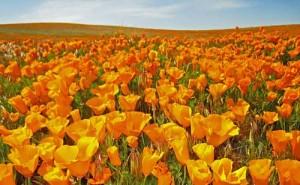 odnoletnie-cvety-cvetut-vse-leto-jeshshol'cija-polynok-kalifornijskij-mak