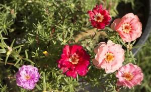 odnoletnie-cvety-cvetut-vse-leto-portulak