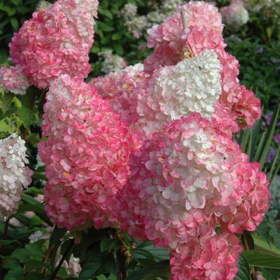 Почему не цветет гортензия в саду, а дает только листву