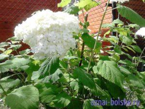ne-cvetet-gortenzija