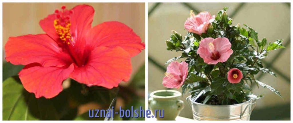 gibiskus-kitajskaja-roza