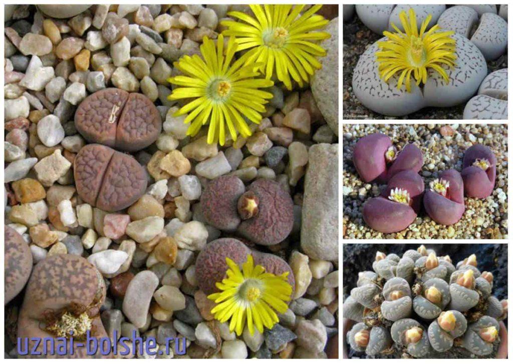 litopsy-zhivye-kamni