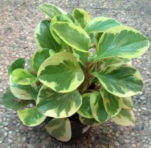 peperomia-magnolielistnai-magnoliaefolia