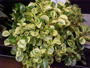 peperomia-obtusifolia-variegata