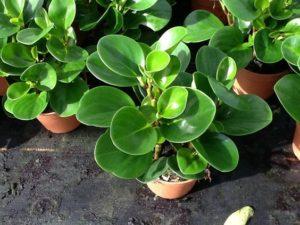 peperomia-tupolistnaia-obtusifolia