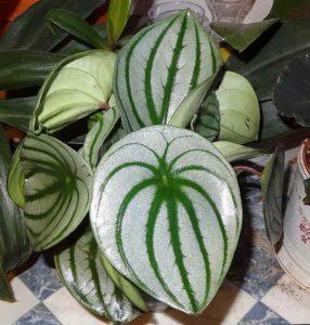 peperomija-arbuznaia-watermelon