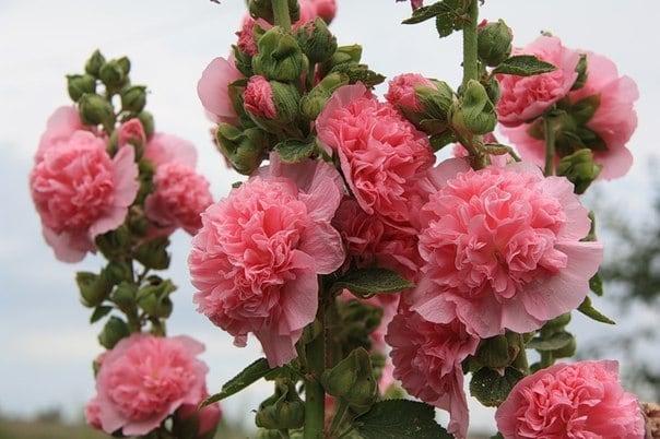 shtok-roza